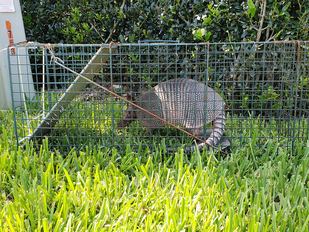 Armadillo removal services in Polk County, Pasco County and Hillsborough County, Florida