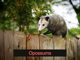Opossum Removal Central Florida