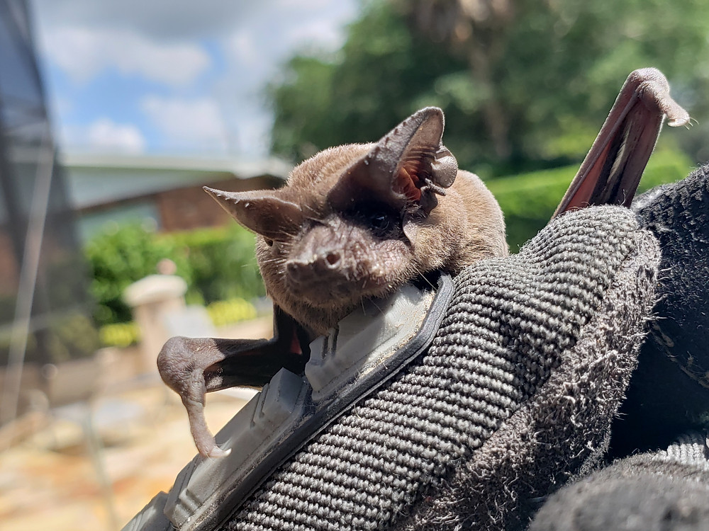 Bat Removal Services in Polk County, Pasco County and Hillsborough County, Florida