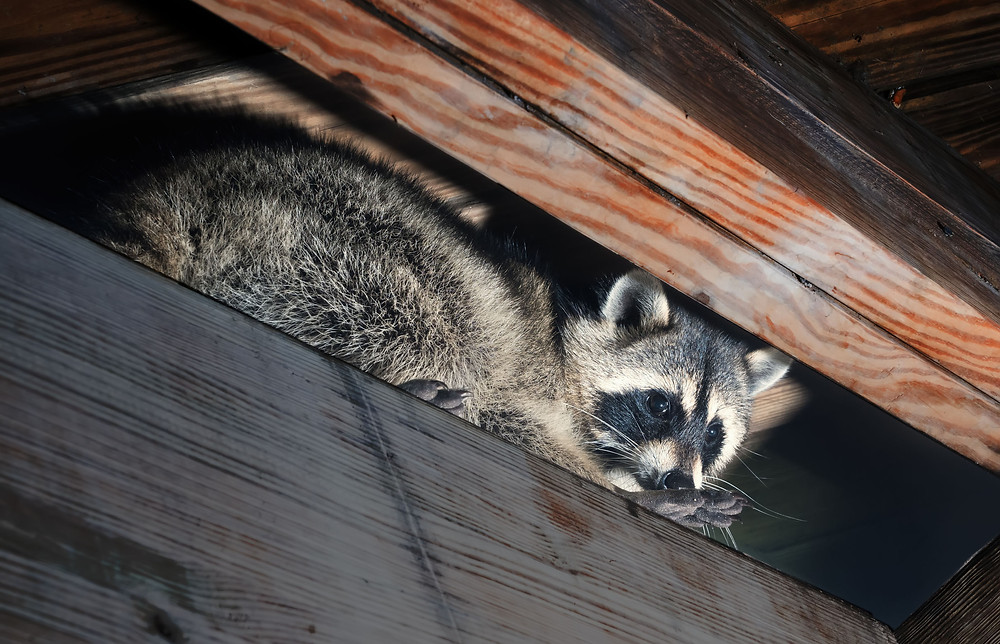Raccoon in attic in Polk County, Pasco County and Hillsborough County Florida