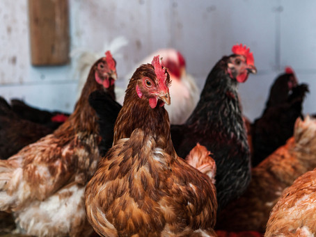 Poultry and Predators: Keeping chickens, ducks and turkeys safe from predators in Central Florida