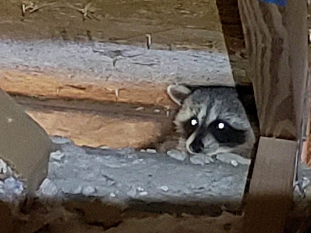 Raccoon trapping and removal services in Polk County, Pasco County and Hillsborough County, Florida