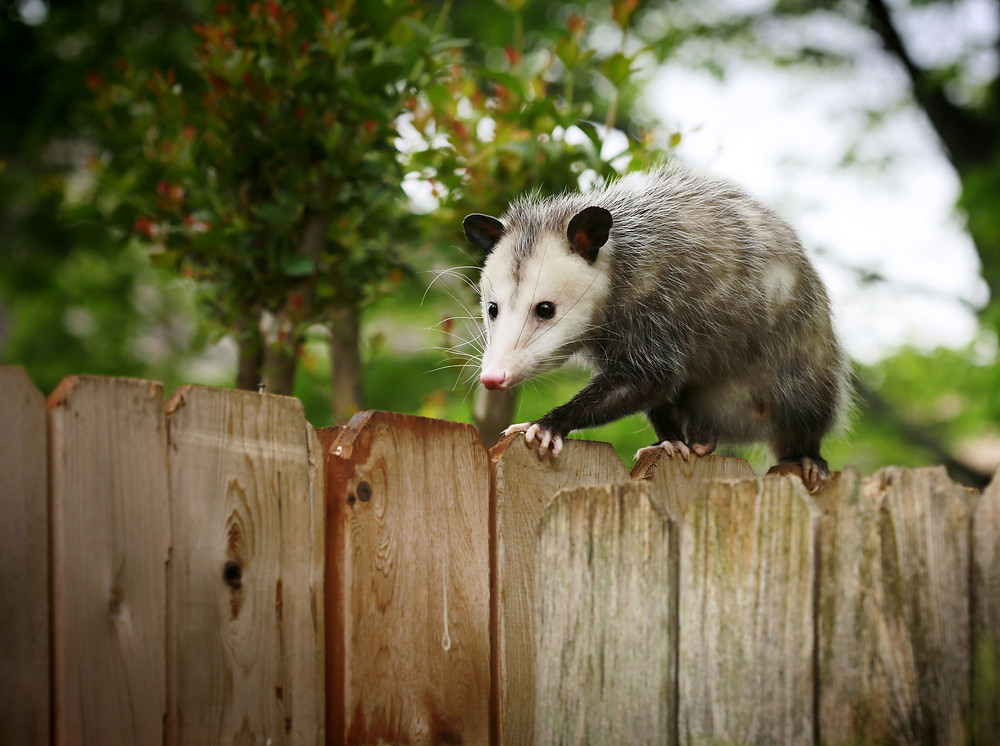 Opossum removal in Polk County, Pasco County and Hillsborough County Florida