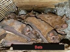 Bat removal central Florida