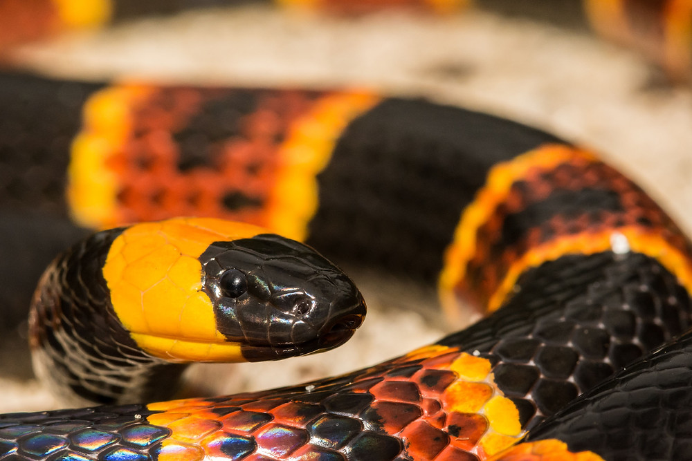 Snake removal services in Polk County, Pasco County and Hillsborough County Florida