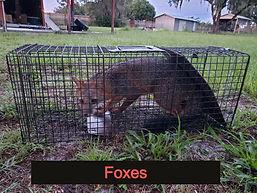 Fox Removal Central Florida