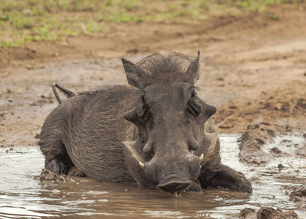 South African warthog seen mud bathing prior to being sacrificed and turned into handbags.