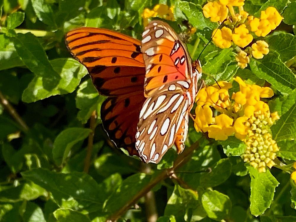 A Monarch butterfly busies itself in Myrtle Beach, SC