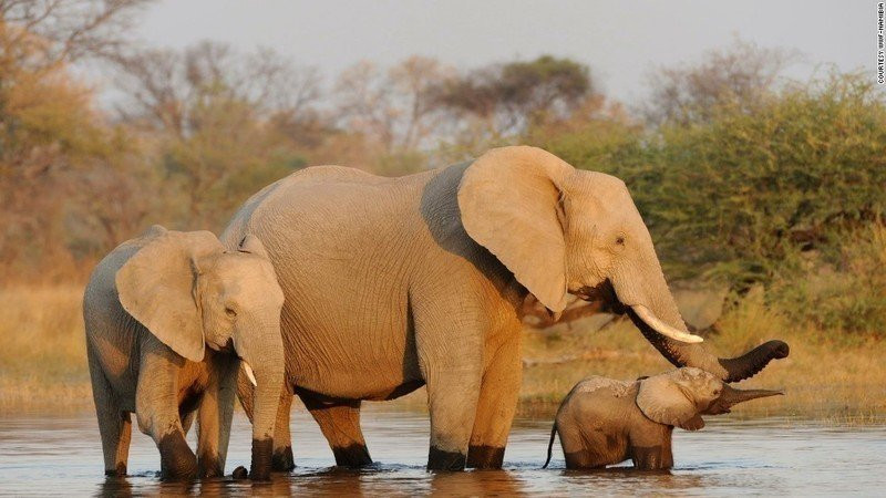 Trump Admin. breaks promise to ban importation of elephant trophies from African nations.