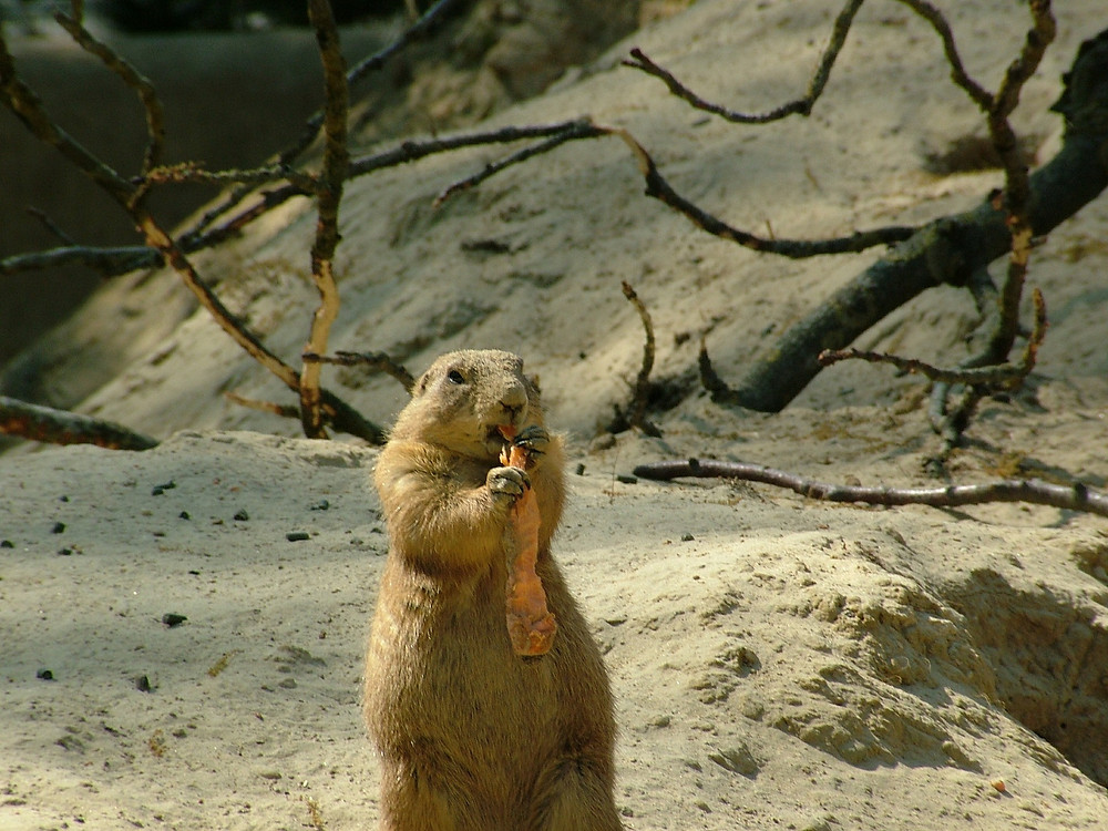 Wonder if this woodchuck is eating a hunk of Paul Ryan's car!