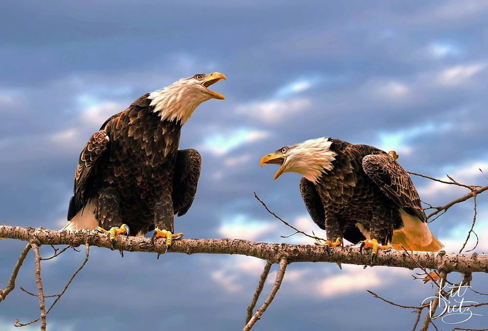 two eagles argue on a branch