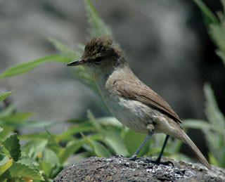 Federally endangered Nihoa Millerbird. Photo credit: Mark MacDonald/USFWS