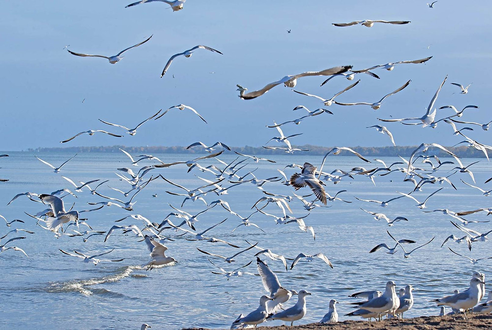 Seagulls swarm along the shores of Lake Erie.