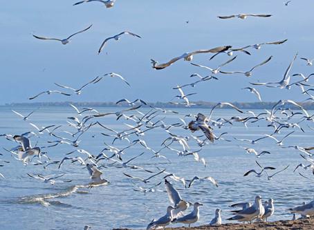 Pic of the Week: Gull Frenzy