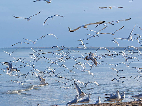 Pic of the Week: Gull Frenzy