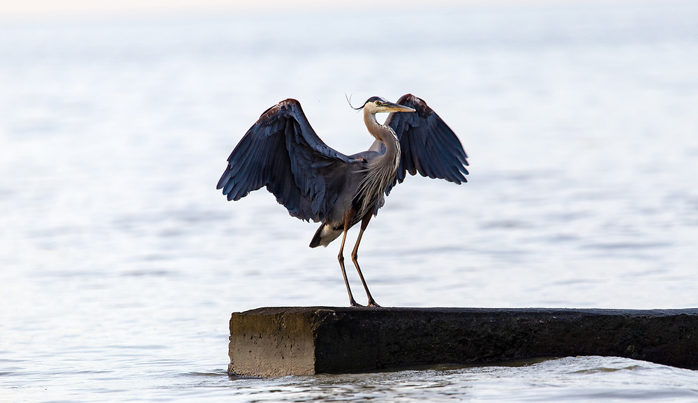 Great Blue Heron by Kit Dietz