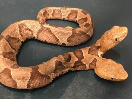 Two-Headed Snake Found in Virginia (It was NOT a Politician)