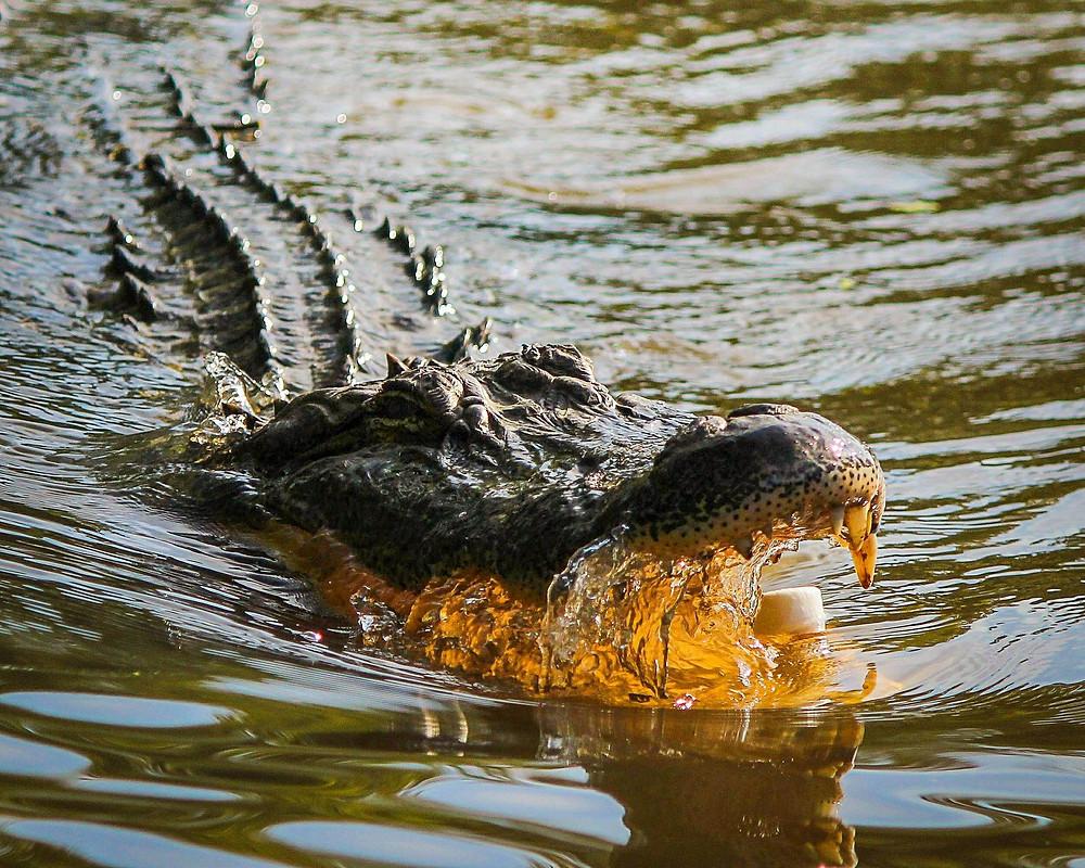 A beast in Trump's Washington swamp.