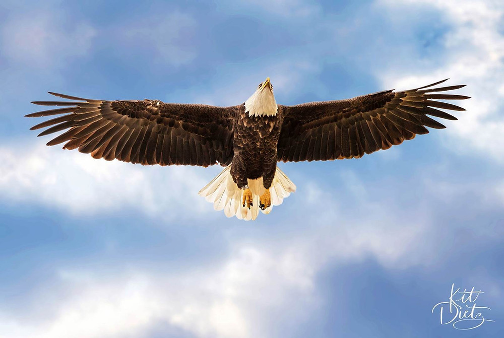 eagle in flght