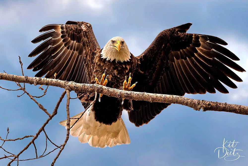 Bald eagle lands, claws extended