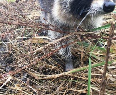 News Break: Drunken Raccoons Cause Rabies Scare