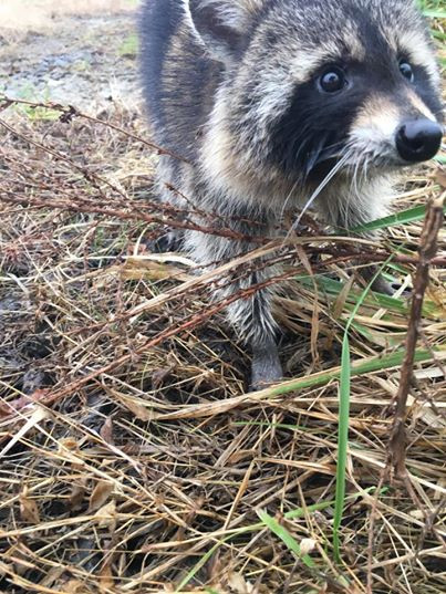 A drunken raccoon in Milton, WV throws scare into local residents.