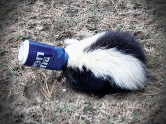 Poor Skunk Gets Stuck in a Bud Light Can