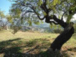 Olive tree at Hacienda for sale in the Granada Province, Andalucia