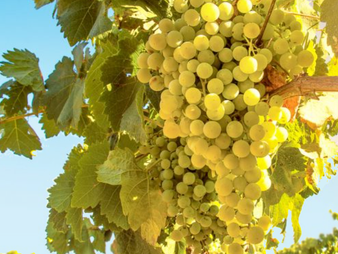 Scientists Reveal Savagin Grape Has Existed for 900 Years