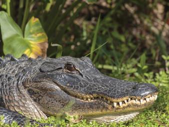 Florida Alligator Breaks and Enters