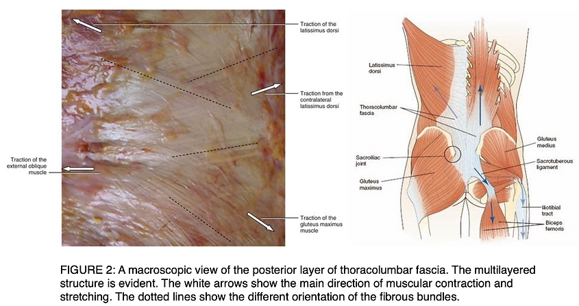 FIGURE 2: A macroscopic view of the posterior layer of thoracolumbar fascia. The multilayered structure is evident. The white arrows show the main direction of muscular contraction and stretching. The dotted lines show the different orientation of the fibrous bundles.