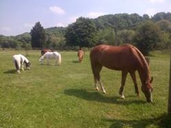 Qacentina poneys shetlands