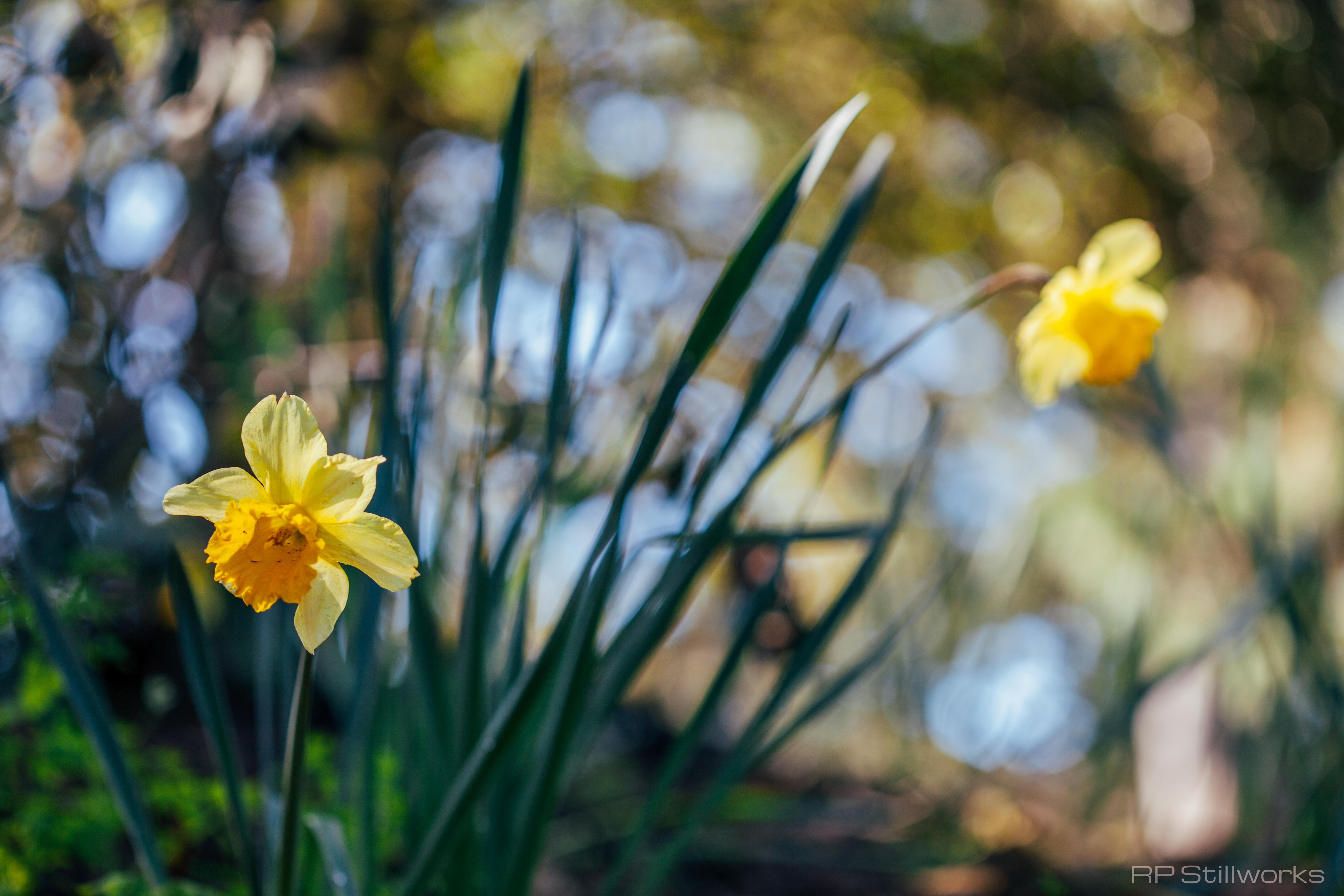 """""""Daffodil Hill"""""""