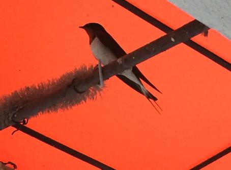ツバメのお家 A swallow's nest