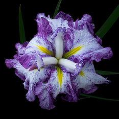 Iris web.jpg
