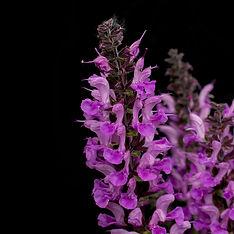 Sfeerfoto Salvia web.jpg