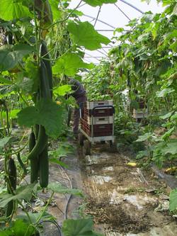 ramassage concombre