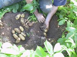 ramassage pomme de terre 2