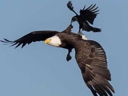 Hoe een adelaar zijn situatie overstijgt...