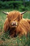 Highland Sığır