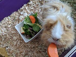 guinea pig for pet sitting.jpg