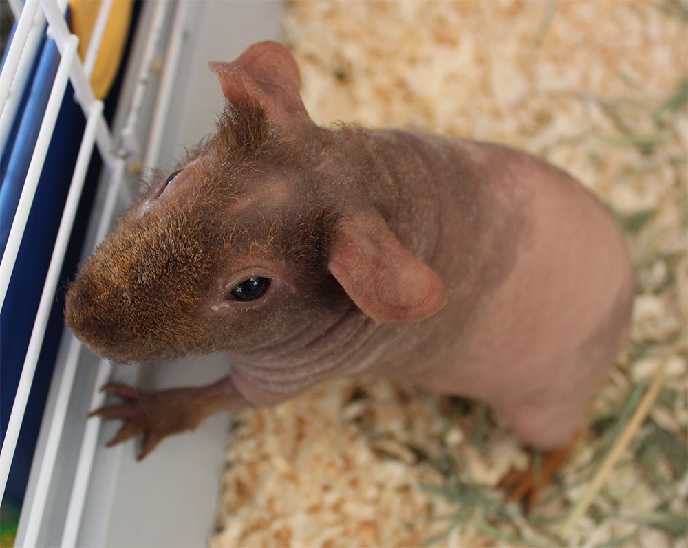 Be aware that skinny pigs have special needs.