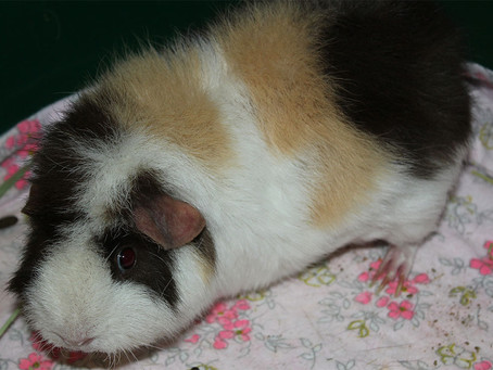 What your Pet Sitter wants you to know before adopting a Guinea Pig :)