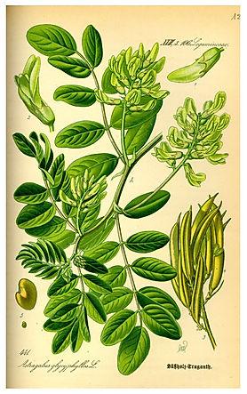 Illustration_Astragalus_glycyphyllos0_ed