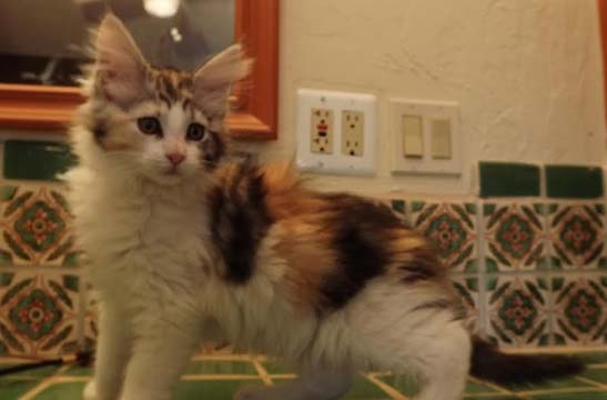 Silver patch female kitten