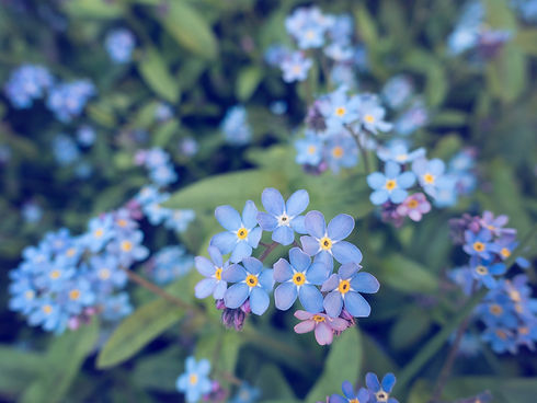 forget-me-not-flowers.jpg