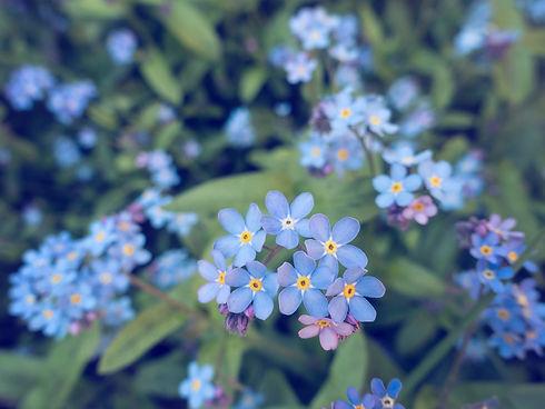 forget-me-not-flowers.jpg