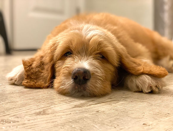 sleepy puppy.jpg
