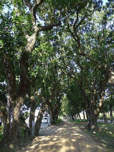 宮良の並木.jpg