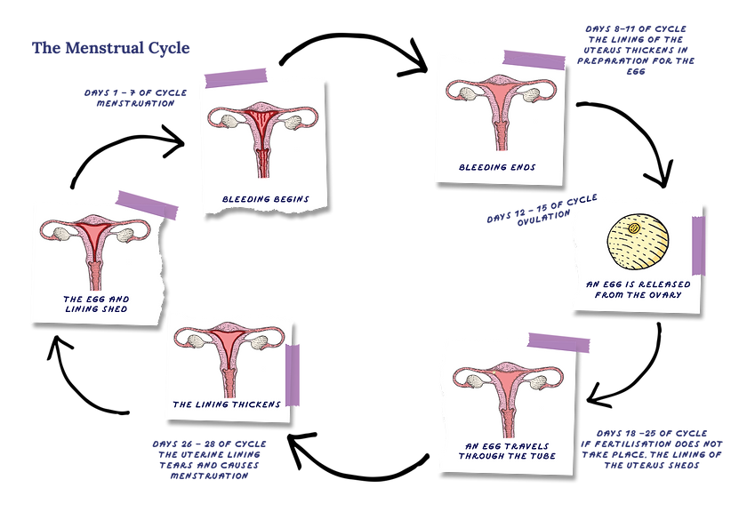 The menstrual cycle.png